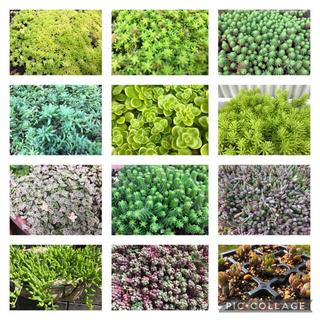 多肉植物★セダム♪12種類★寄せ植えや雑草対策・グリーンカーペットに(その他)
