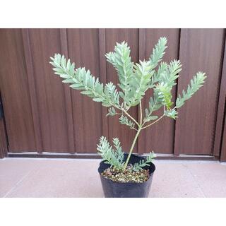 アカシアブルーブッシュ ポット苗42 観葉植物 シンボルツリーに♪(プランター)
