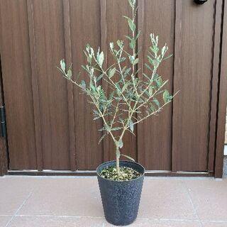 大きめ♪オリーブの木 マンザニロ 鉢植え9 観葉植物 ガーデニング(プランター)