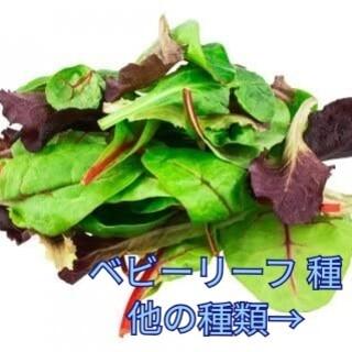 野菜種☆ベビーリーフ☆変更→つるなしいんげん オカヒジキ 芽キャベツ わさび菜
