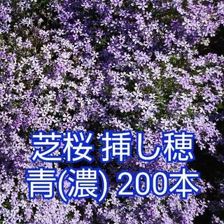 芝桜 挿し穂 青(濃) 200本(その他)