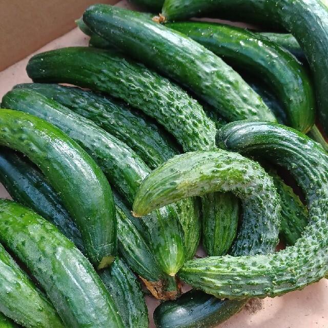 京都産 無農薬きゅうり 訳あり3キロ 食品/飲料/酒の食品(野菜)の商品写真