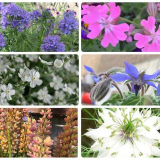 秋まき花種6種(その他)