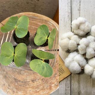 白の綿の苗 ポット苗 4本(プランター)