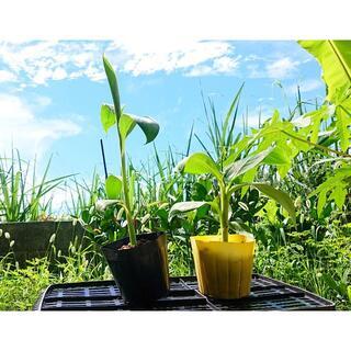 沖縄本島産「3尺バナナ」と「島バナナ」の小苗セット(フルーツ)