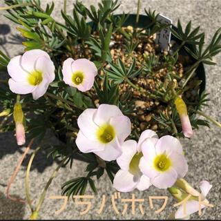 ☆レア☆オキザリス フラバ ホワイト 球根 7個 Flava white(その他)