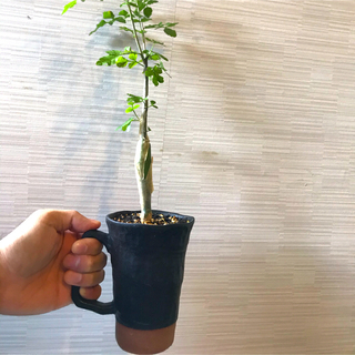 ブルセラ ファガロイデス 素焼き マグカップ コーデックス 塊根 植物(プランター)