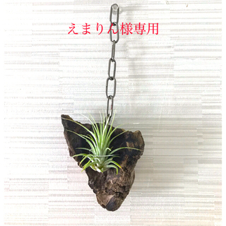 イオナンタ 流木 ハンギング チェーン(その他)