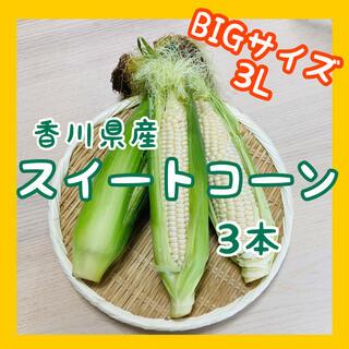 【大きいサイズのみ】スイートコーン3本 白いとうもろこし ホワイト 新鮮野菜(野菜)