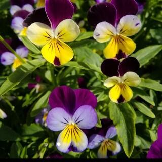 花の種 ビオラ