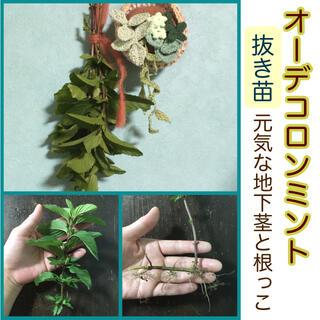 【ご購入後、新たに採取】天然の芳香剤!オーデコロンミント抜き苗(その他)