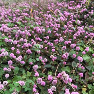 即購入OK ヒメツルソバ 姫蔓蕎麦 挿し穂 根付き ピンクの花 金平糖 送料無料