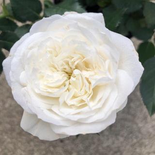 ミニ薔薇 グリーンランド株分け苗(その他)