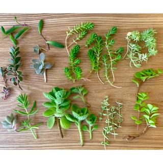 セダム(多肉植物)   カット苗&抜き苗 詰め合わせ