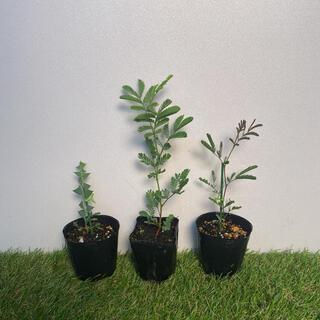 アカシア3種セット ギンヨウアカシア、プルプレア、サンカクバアカシア(その他)