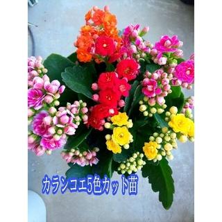 カランディーバ(カランコエ)5色カット苗 葉っぱもそれぞれ1枚ずつ付きます(その他)