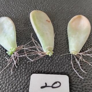 20 淡雪錦 斑入り確定 葉挿し3枚セット エケベリア 多肉植物(その他)
