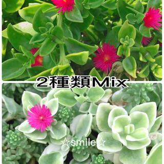 多肉植物 ベビーサンローズ 2種類 カット苗(その他)