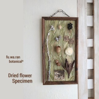 *ドライフラワー  植物標本 (ユーカリ)(ドライフラワー)