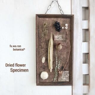*ドライフラワー  植物標本 (オクラ)(ドライフラワー)