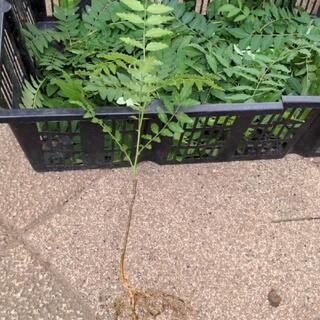 山椒の苗木 高さ20cm前後