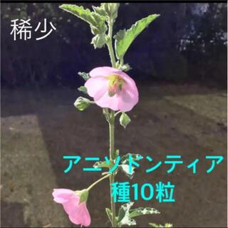 アニソドンティア 種 10粒(プランター)