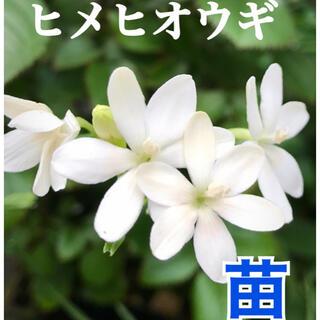 苗 ヒメヒオウギ  希少白花(その他)