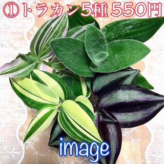 シンゴニウム チョコレート 水栽培中(その他)