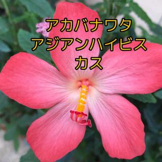 希少 アカバナワタ アジアンハイビスカス 苗(プランター)