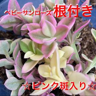☆ピンクが可愛い❣️初心者様に安心の根付き☆☆☆斑入りベビーサンローズ‼️(プランター)
