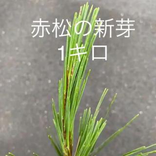 赤松の新芽 松の葉 1キロ以上オマケつけます(健康茶)