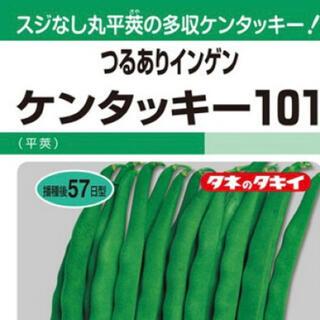野菜種インゲン ケンタッキー101 野菜種15粒(野菜)
