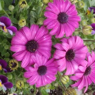 🌸オステオスペルマム🌸赤紫色 挿し穂4本(プランター)