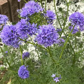 ギリアレプタンサ 花の種100粒(その他)
