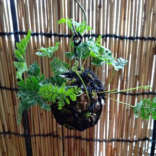 トキワシノブ吊り苔玉 黒紐(その他)