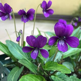 ☆野生種スミレの種(紫)の種‼️(その他)