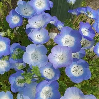 花の種     ネモフィラ+おまけ(その他)