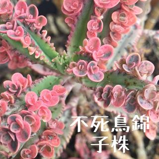 不死鳥錦 子株(その他)