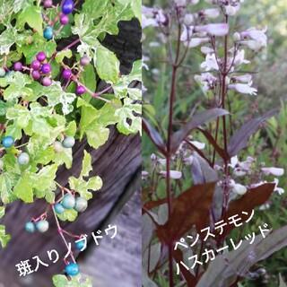 ペンステモンハスカーレッド 斑入りノブドウ 種(その他)