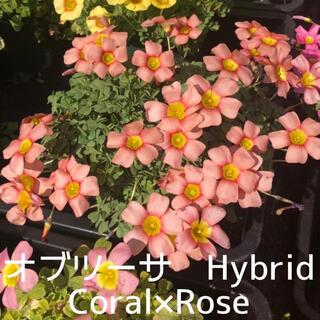 ☆超レア☆オキザリス オブツーサ Hybrid Coral×Rose 球根 5個(その他)
