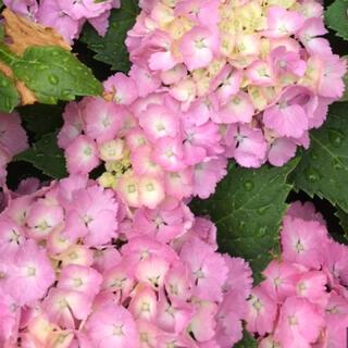 ファンタジー紫陽花挿し穂(プランター)