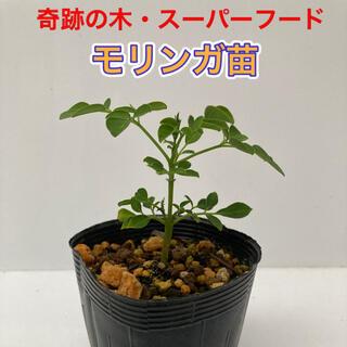 モリンガ苗 1鉢 ④(プランター)