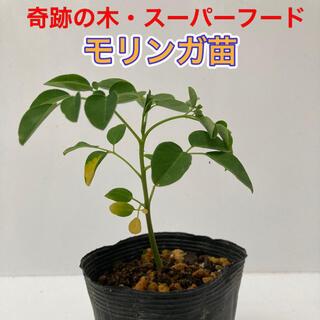 モリンガ苗 1鉢 ⑤(プランター)