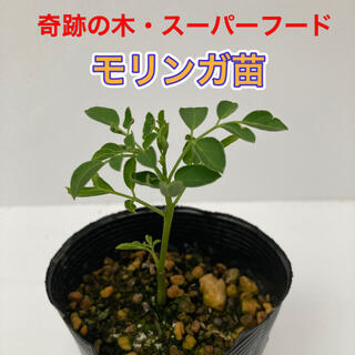 モリンガ苗 1鉢 ⑥(プランター)