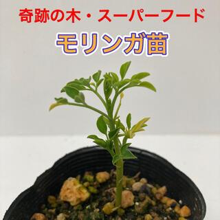 モリンガ苗 1鉢 ⑦(プランター)
