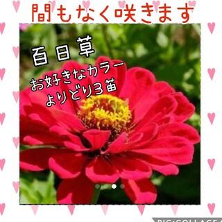 百日草  花苗 3苗set(その他)