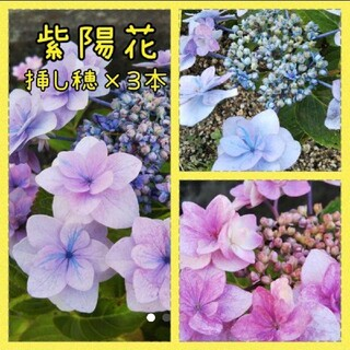 紫陽花 挿し穂 3苗(その他)
