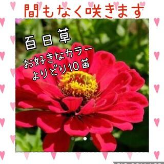 百日草  花苗 10苗set(その他)