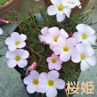 ☆人気☆オキザリス 桜姫 球根 6個 Heptaphylla(その他)
