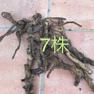 ミョウガ  地下茎 無農薬 7株(プランター)